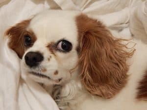 Cavalier-King-Charles-Spaniel-Health-Problems
