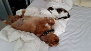 Should you let your Cavalier King Charles Spaniel sleep in your bed