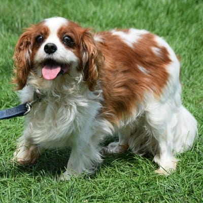 cavalier-king-charles-spaniel-rescue-dog