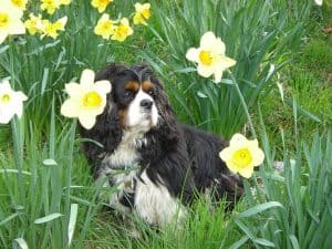 why-choose-a-cavalier-king-charles-spaniel