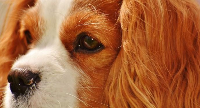 cavalier king charles spaniel barking