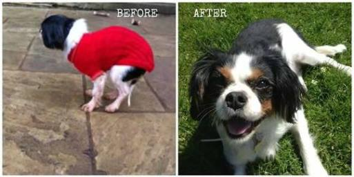 lucy-the-rescue-cavalier-before-and-after