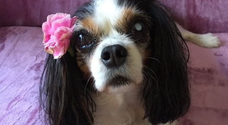 lucy the rescue cavalier