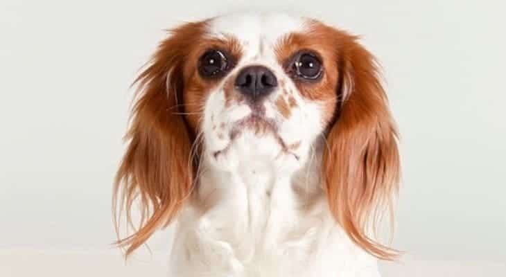 Cavalier King Charles Spaniel Ear Cleaner