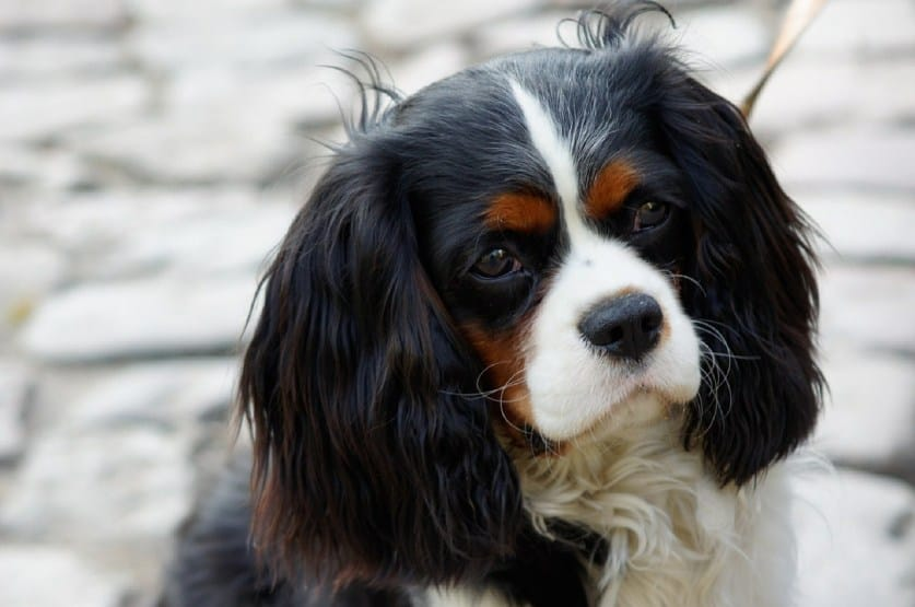 cavalier king charles loyal