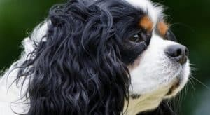 cavalier king charles spaniel loyal