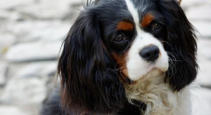 Are Cavalier King Charles Spaniels Clever