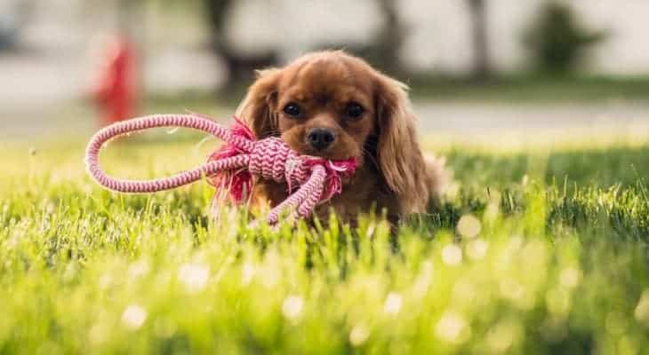 Cavalier King Charles Spaniel Cost