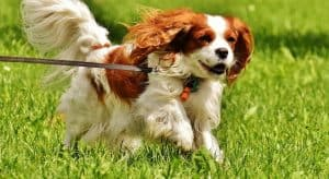 Cavalier king charles spaniel exercise requirements