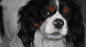 do cavalier king charles spaniel smell