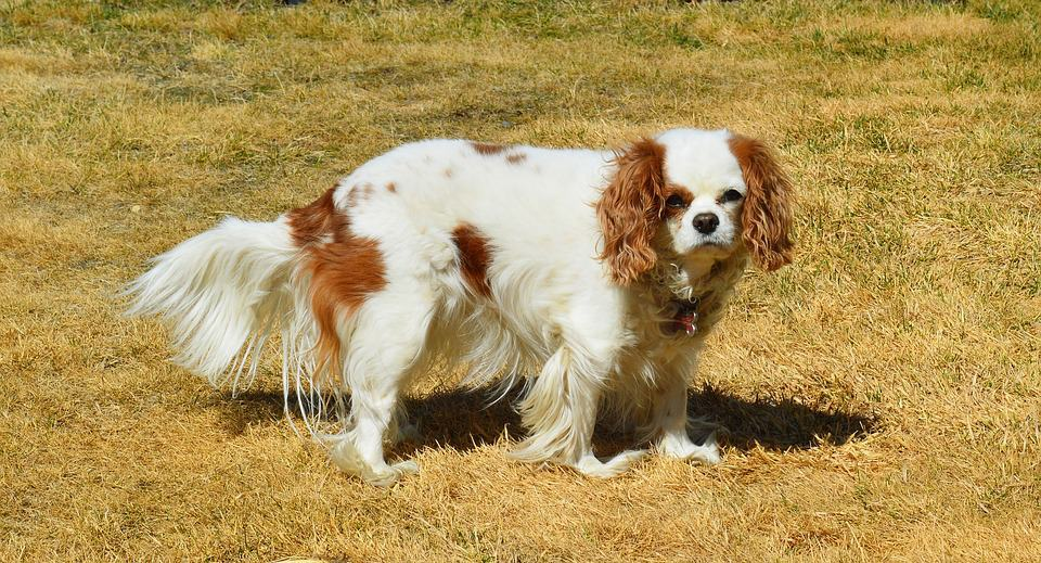 Are Cavalier King Charles Spaniels Aggressive
