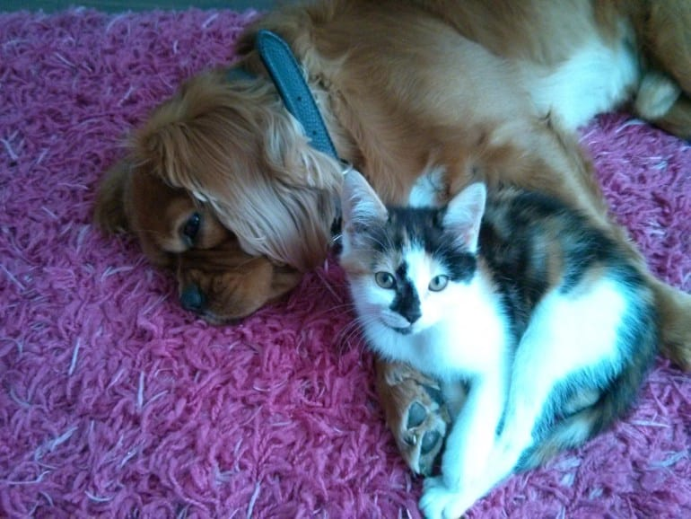Do Cavalier King Charles Spaniels and Cats Get Along