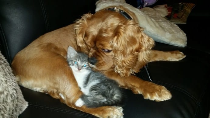 Introducing a Cavalier King Charles Spaniel to a Kitten