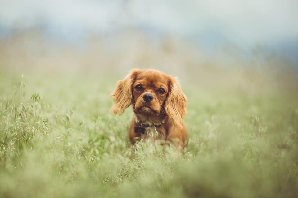 Cavalier King Charles Spaniel Puppies Buyers Guide