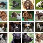Spaniel Breeds: (The Complete list of 24 Types of Spaniel Dogs)