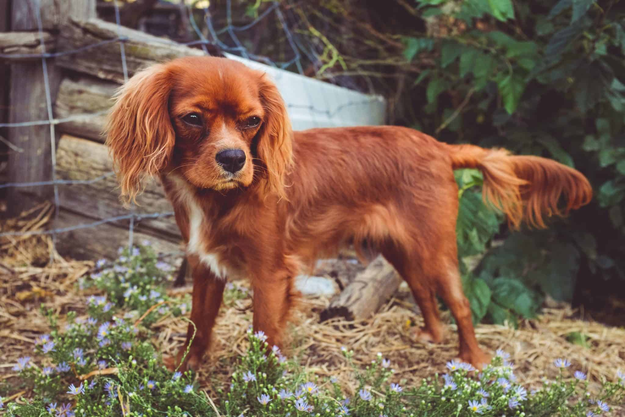 buying a cavalier king charles spaniel puppy