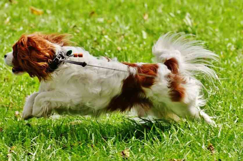 cavalier king charles spaniel exercise