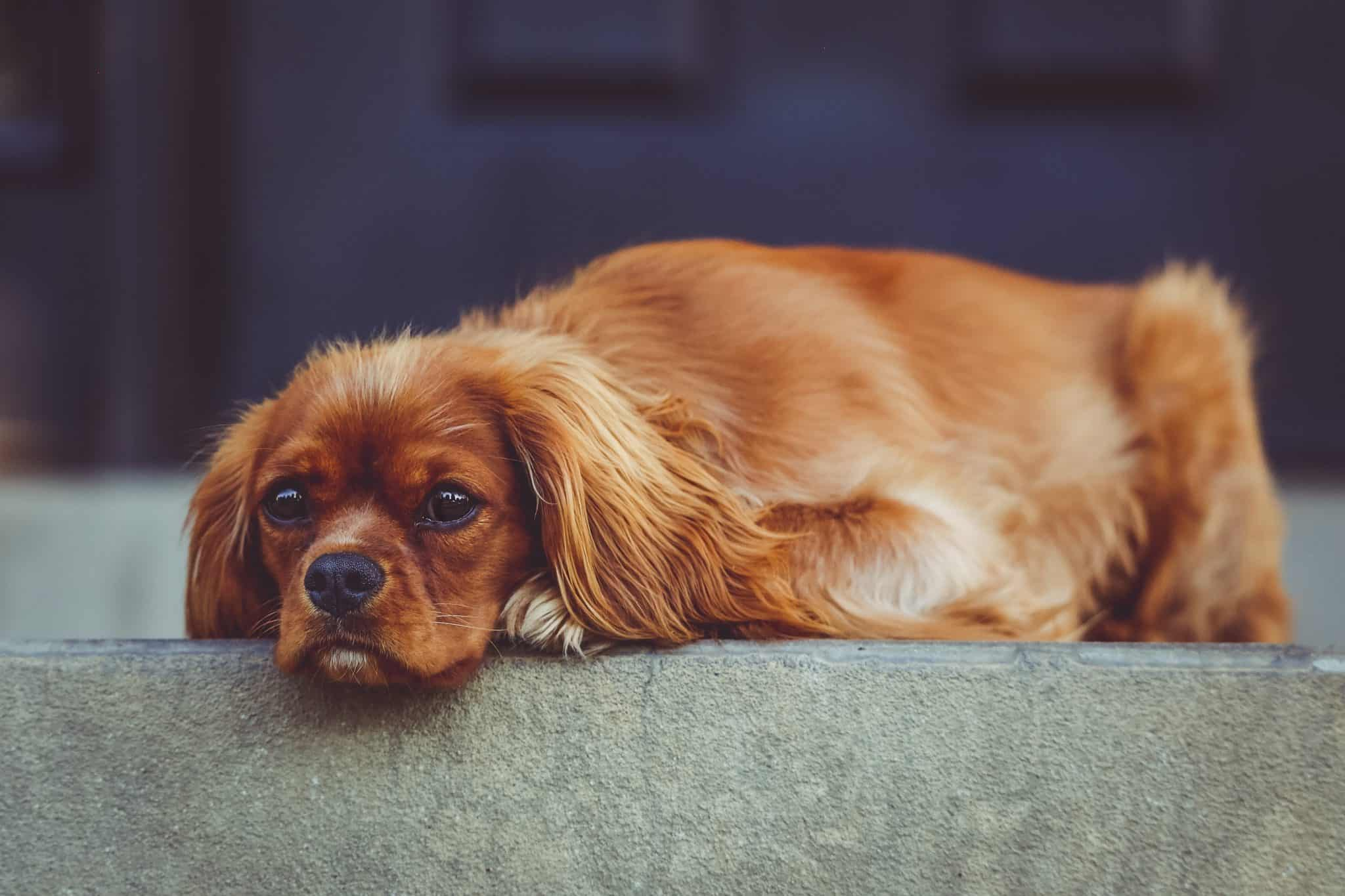 cavalier king charles spaniel how much do they cost