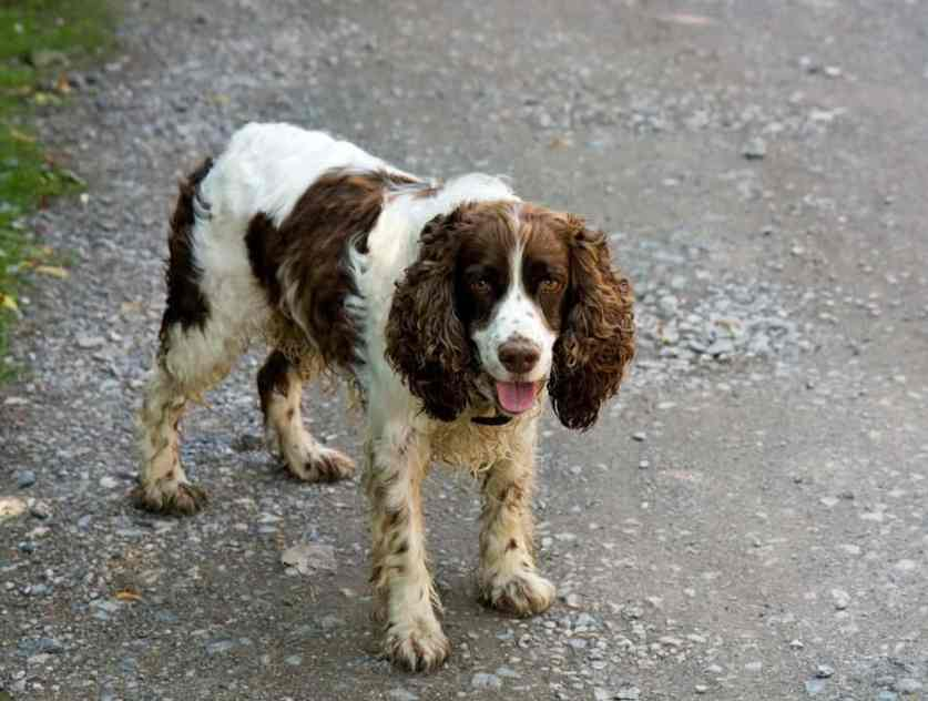do english springer spaniels shed a lot
