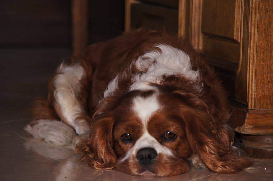 do cavalier king charles spaniels smell