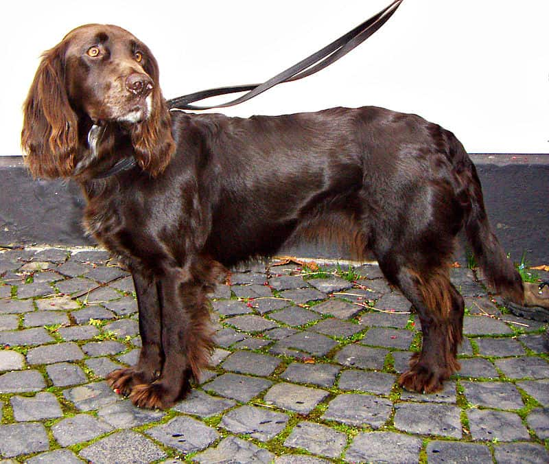 Spaniel Breeds List Of 23 Types