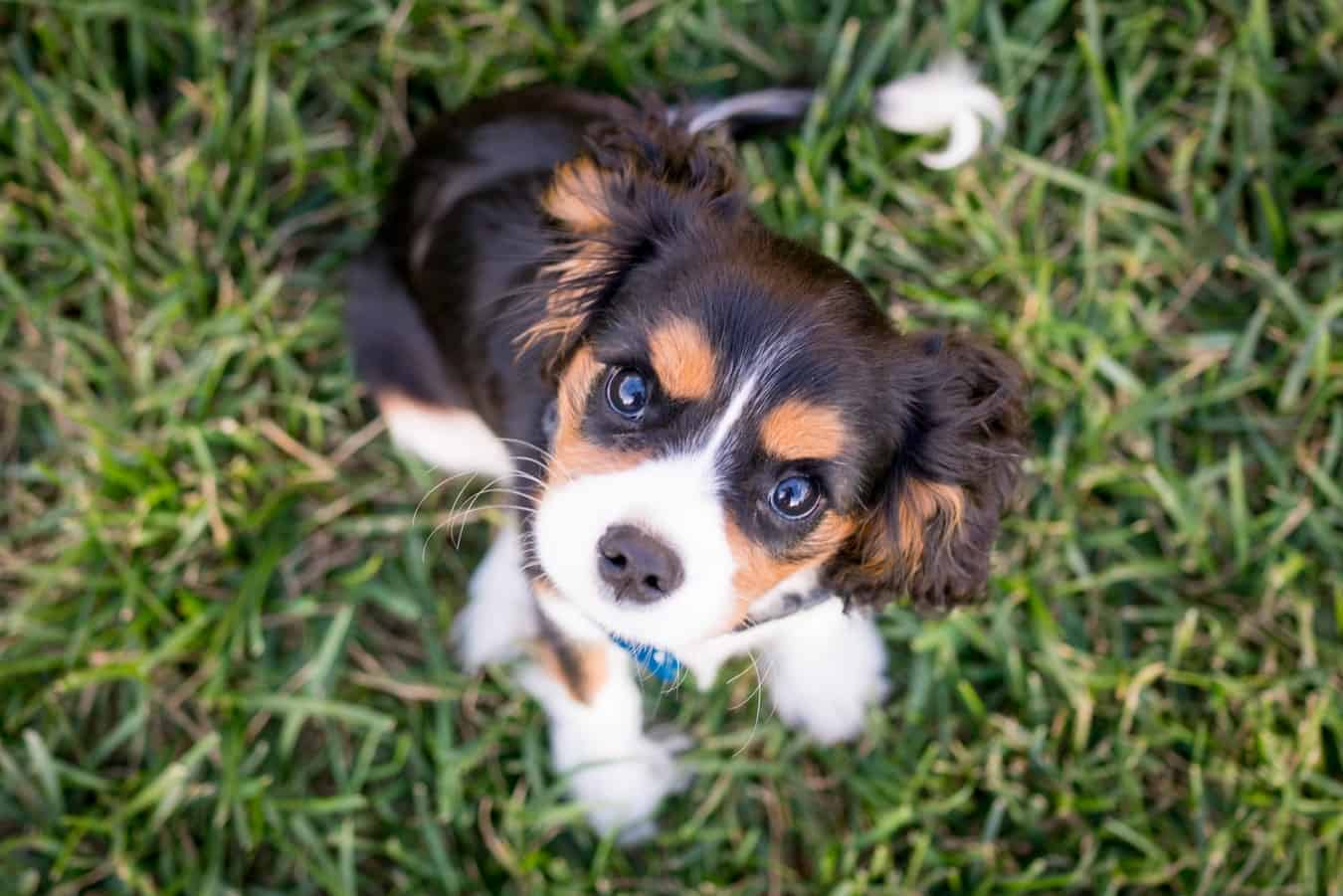 Buy Puppies For Sale Near Me In United Arab Emirates
